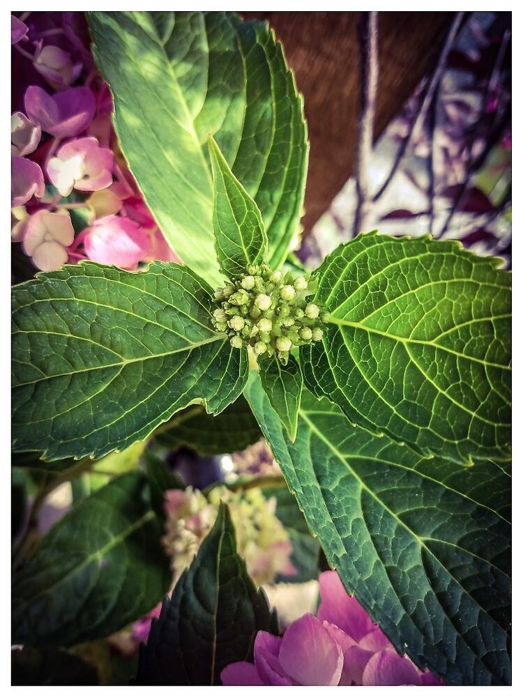 Hydrangea Buds by MBNerd2003