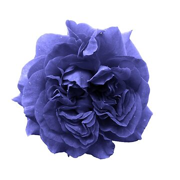 Blue Rose by tanjem
