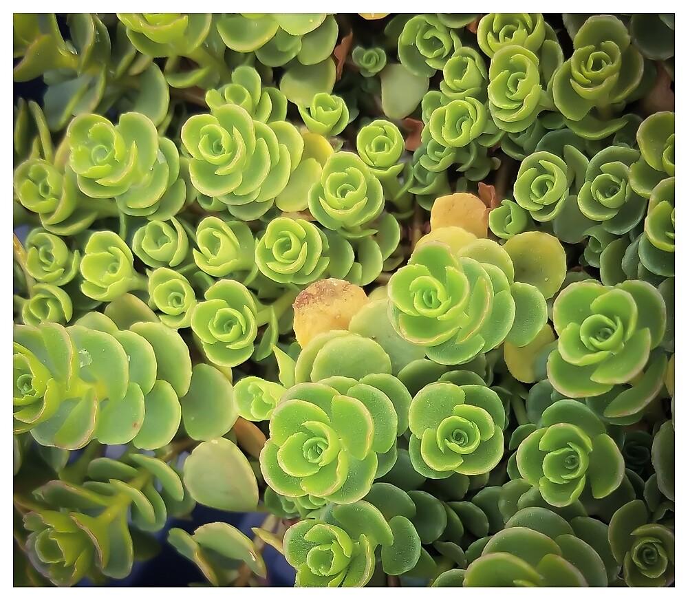 Spiral Succulents by MBNerd2003