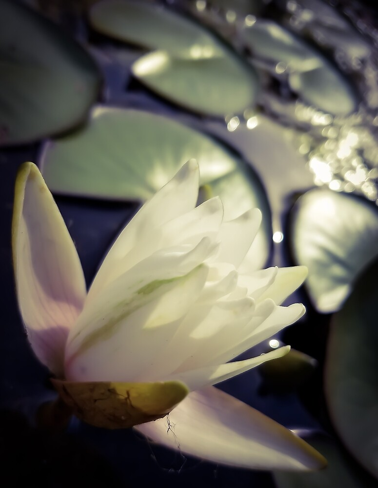 Water Lily at Sunset by MBNerd2003