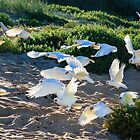 Beach Corellas by IsithombePhoto