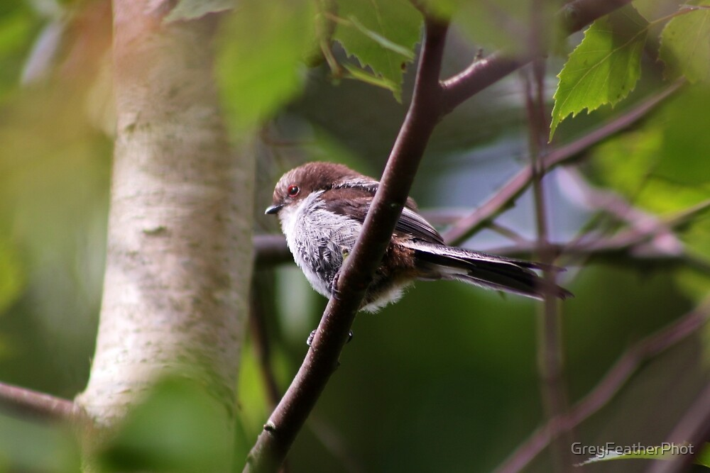 Long Tailed Tit fledgling II by GreyFeatherPhot