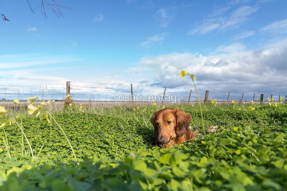 Alfie the Dachshund in clover by susanzentay