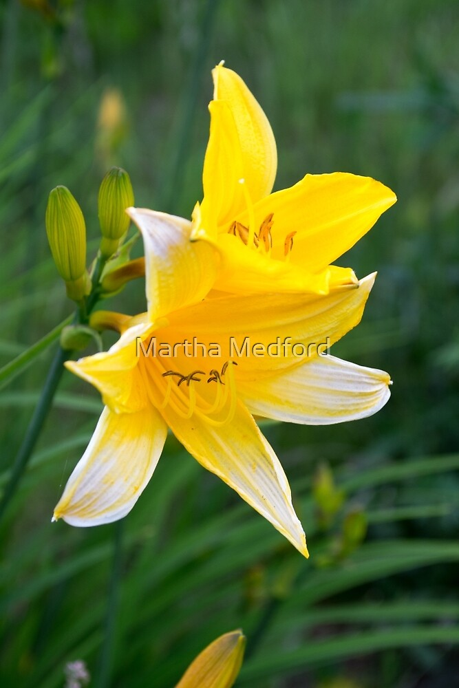 Yellow Day Lily by Martha Medford