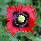 Red Flamed Poppy by Janone