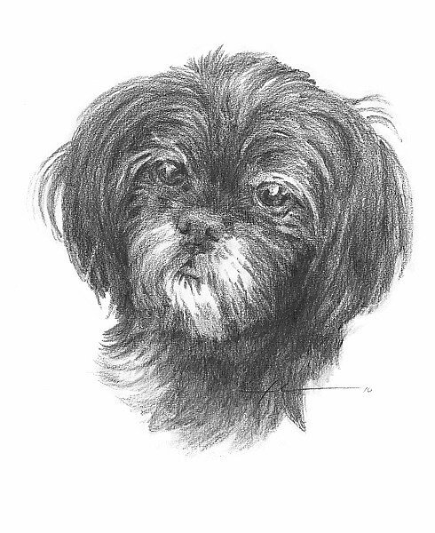 old black Shih Tzu drawing by Mike Theuer