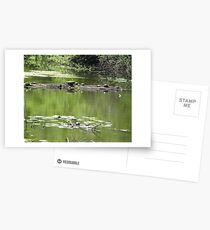 Turtles on a Log Postcards