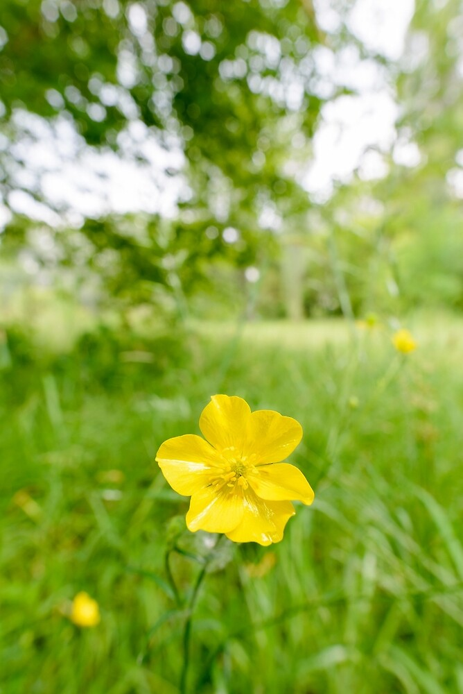Yellow Ranunculus Repens by MaxalTamor