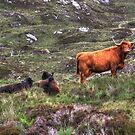 Highland Cattle by Alexander Mcrobbie-Munro