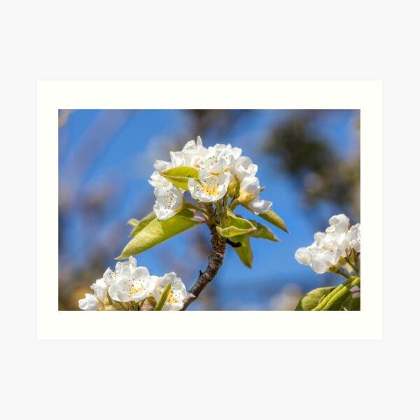White Spring Blossom Art Print