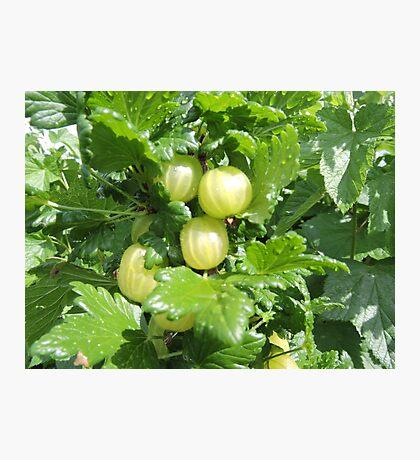 Vegetable Garden: Gooseberries  Photographic Print