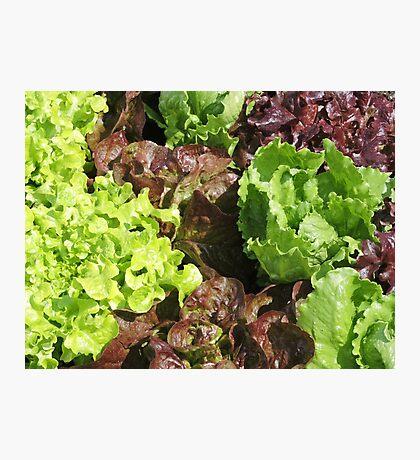 Vegetable Garden: Lettuce Galore Photographic Print