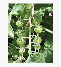 Vegetable Garden: Tomatoes Photographic Print