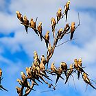 Station Creek Cockatiel's by IsithombePhoto