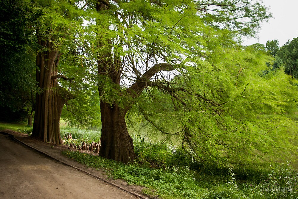 Two monumental swamp cypresses by steppeland