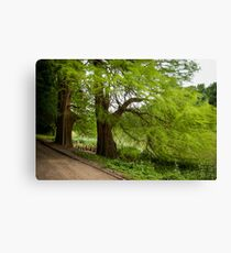 Two monumental swamp cypresses Canvas Print