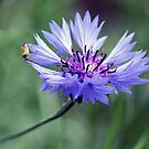 Cornflower and Friend by Astrid Ewing Photography