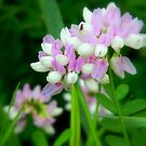 Crown Vetch in pink by Elfriede Fulda