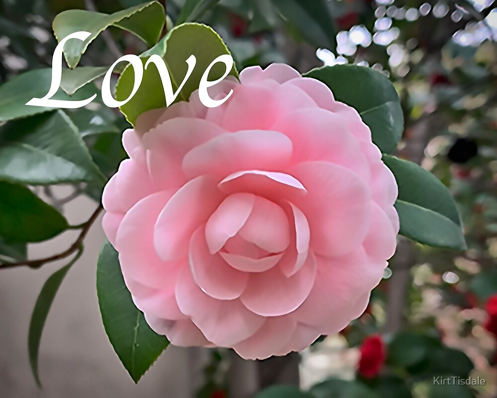 Love - Camellia Soft Pink Bloom by KirtTisdale