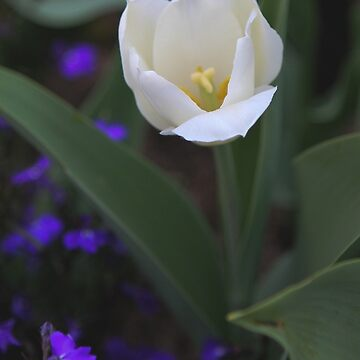 White Tulip by cmariephoto