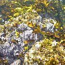 Underwater kelp and seaweed in Sydney Harbour by Emma M Birdsey