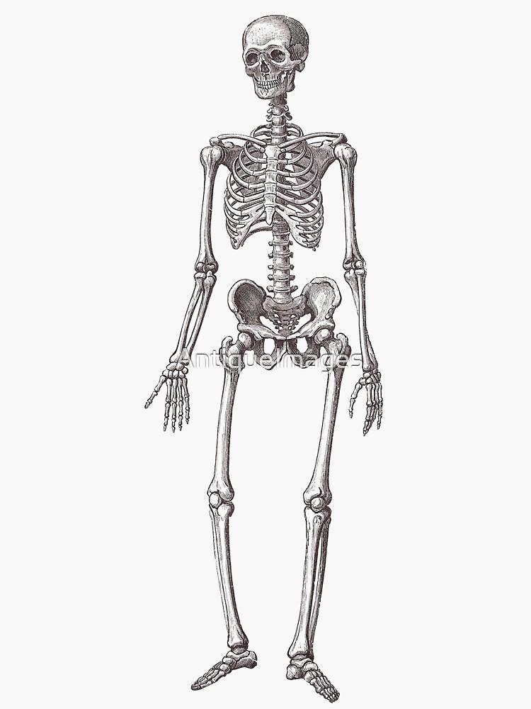 Antique Engraving of Human Skeleton by AntiqueImages