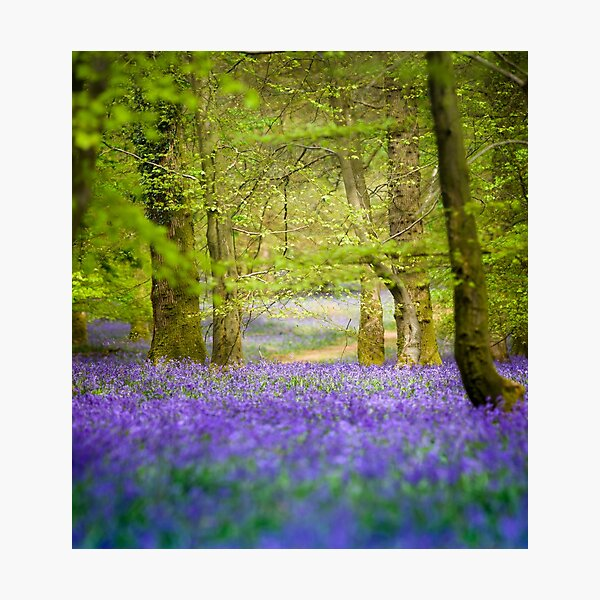 Fairy tale bluebell woods in springtime Photographic Print