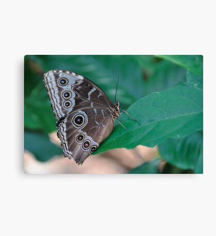 Blue Morpho underside butterfly color photo 1 Canvas Print