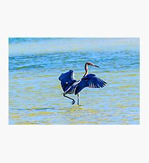 Reddish Egret On The Hunt Photographic Print