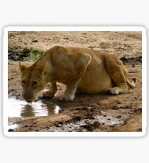 pregnant lioness drinking at puddle Sticker