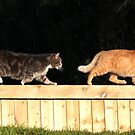 Tabby cat chasing ginger on garden fence by turniptowers