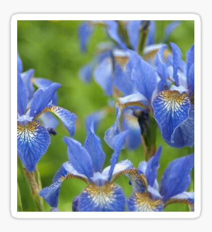 Into a blue iris dream... Sticker