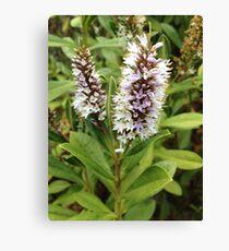 Lavender and White Wild Flower Canvas Print