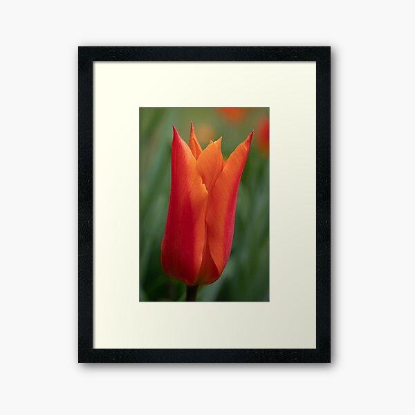 Orange Sarah Raven Tulip Framed Art Print