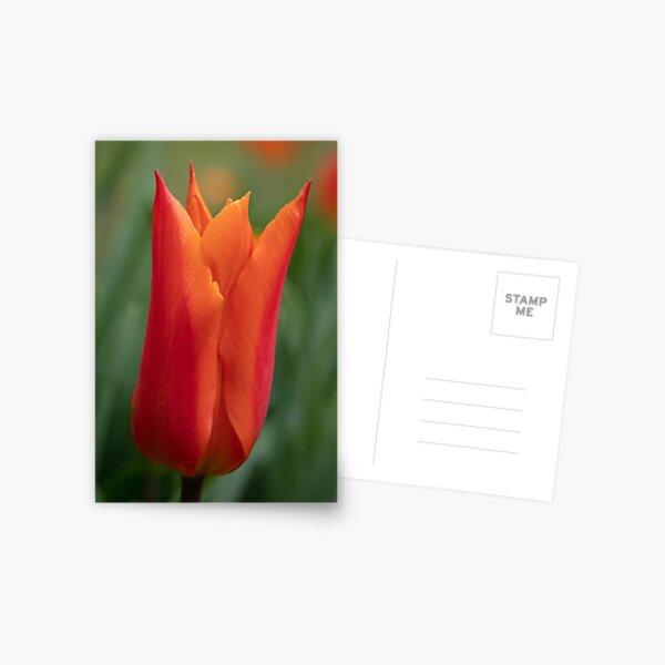 Orange Sarah Raven Tulip Postcard