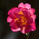 Rose glowing in evening sun by Andrew Jones