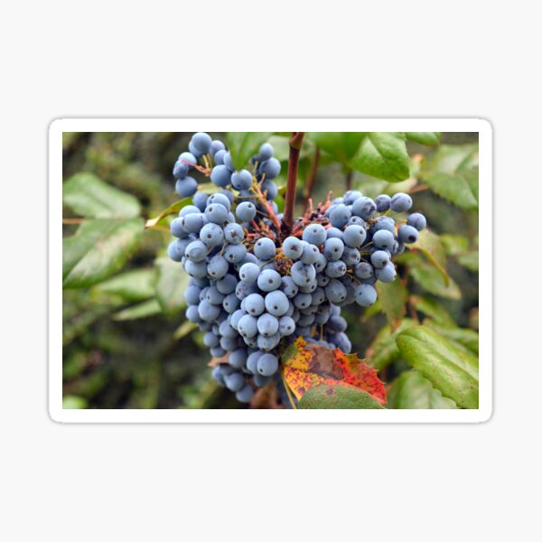 Detail of wine grapes. Sticker