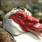 Muscovy Duck by Kawka