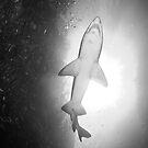 Grey nurse shark, Broughton Island by Emma M Birdsey