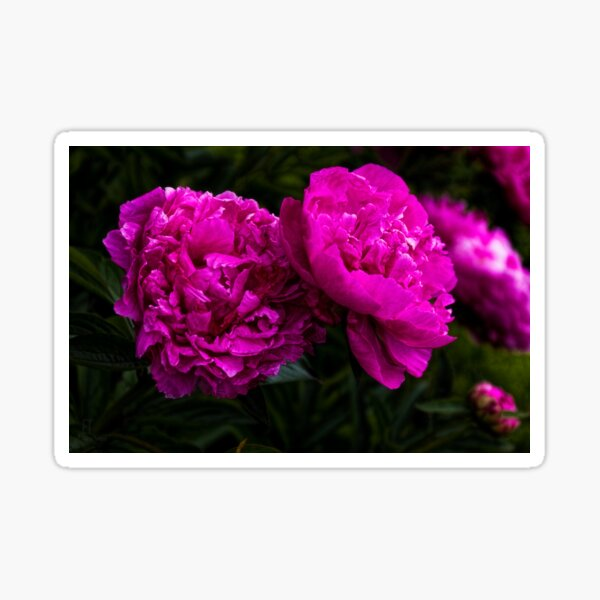 Peonies Sticker