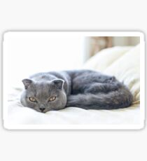 Scottish Fold cat curled up on bed Sticker