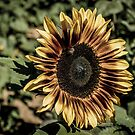 Sunflower Dragan Light Processed by Suzi Harbison