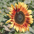 Sunflower Vintage Sun Warmed by Suzi Harbison
