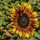 Sunflower HDR by Suzi Harbison