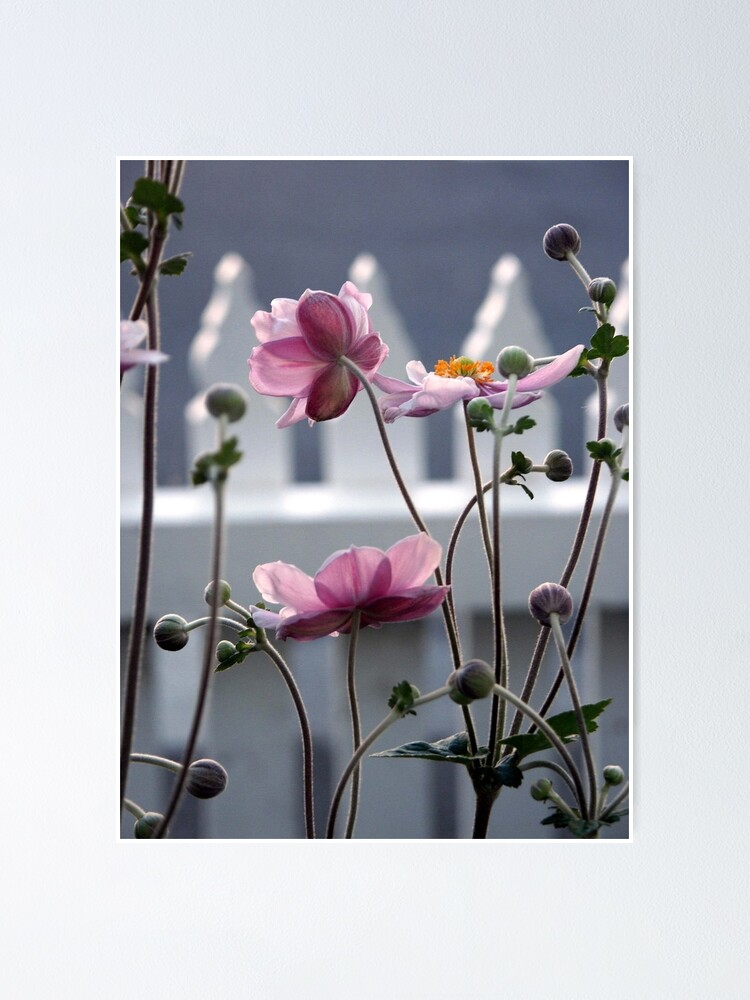 Alternate view of Japanese Windflowers Poster