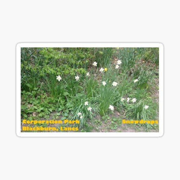 Snowdrops - Corporation Park - Blackburn - Lancs Sticker