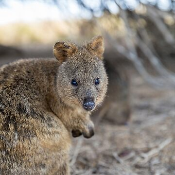 Quokka by cannboys