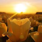 Golden Tulips by tmtphotography