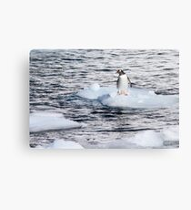 Gentoo penguins (Pygoscelis papua) on Danco Island  Metal Print