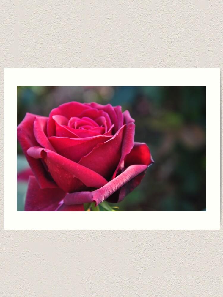 Alternate view of Red rose Art Print